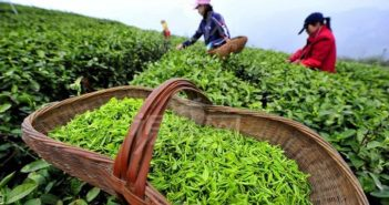Tea Harvesting in China