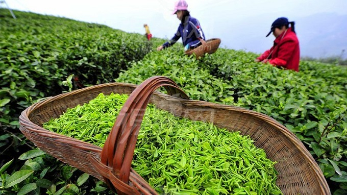 Tea Harvesting in China