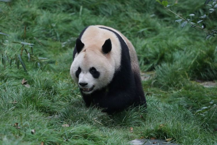 panda moving through grass