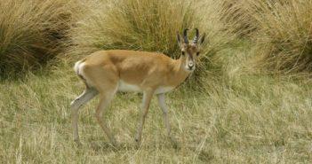 Przewalskii gazelle