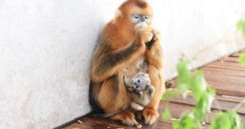 Golden-Snub-nosed-Monkey with her newborn baby