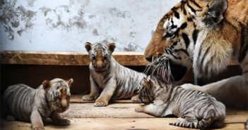 mother with three tiger cubs