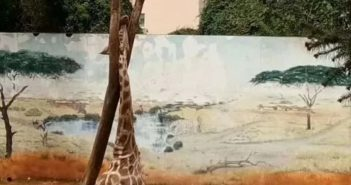 giraffe with head stuck in tree