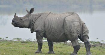 side view of single-horn rhino