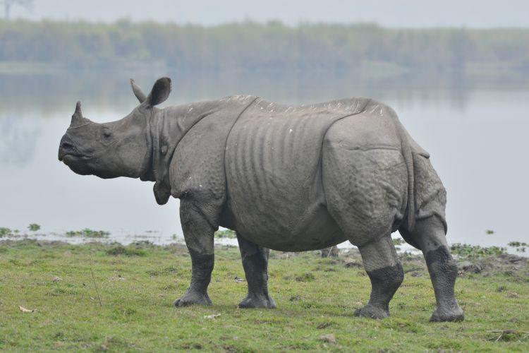 尼泊尔将送给中国两对犀牛