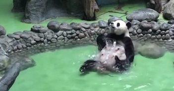 panda in a pool