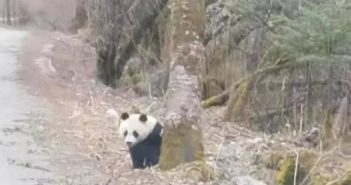 panda by the side of the road in sichuan