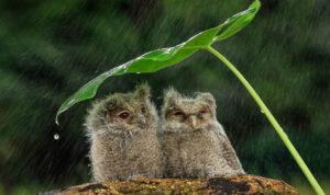 Two owls under a makeshift umbrella