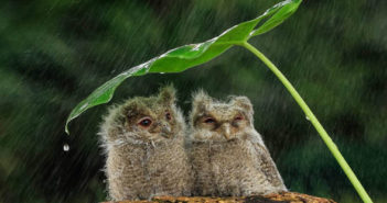 Two owls under a makeshift umbrella