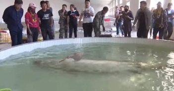 sturgeon in a pool