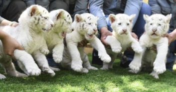 five baby snow tigers