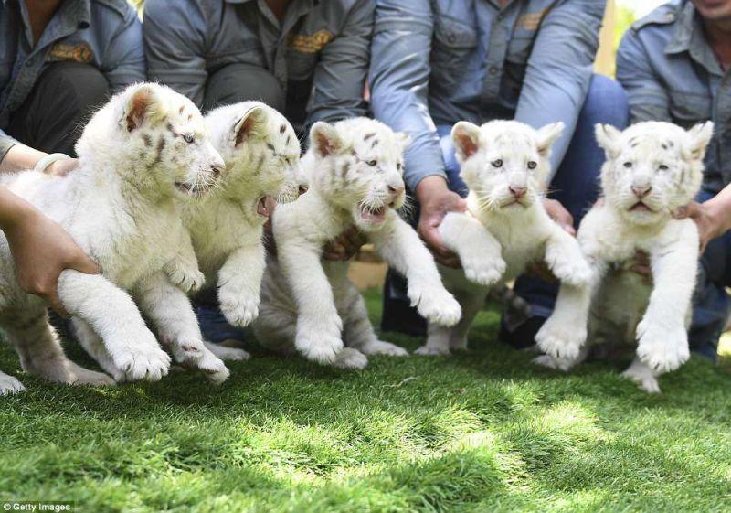 罕见雪虎五胞胎宝宝亮相动物园