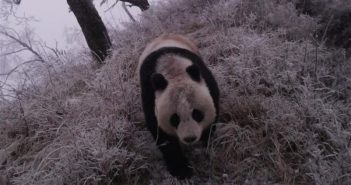 front view of a wild panda