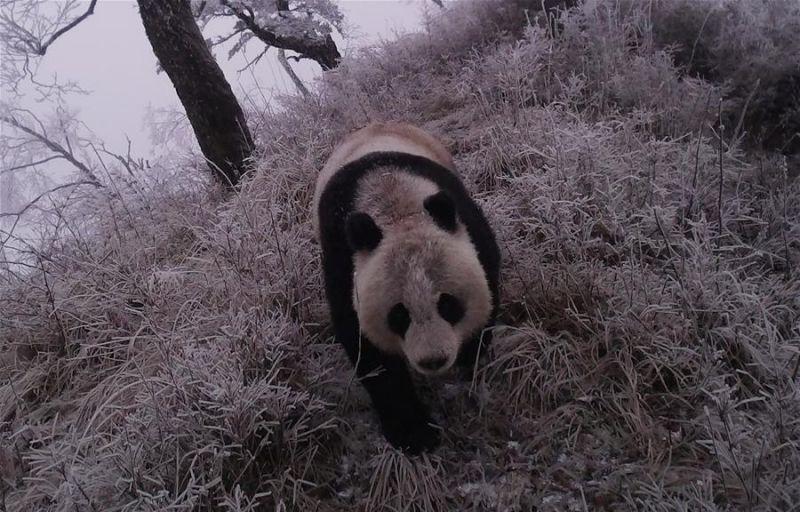 红外相机在甘肃捕捉到野生大熊猫的身影