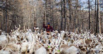 man herding reindeer in mongolia