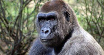 gorilla starring