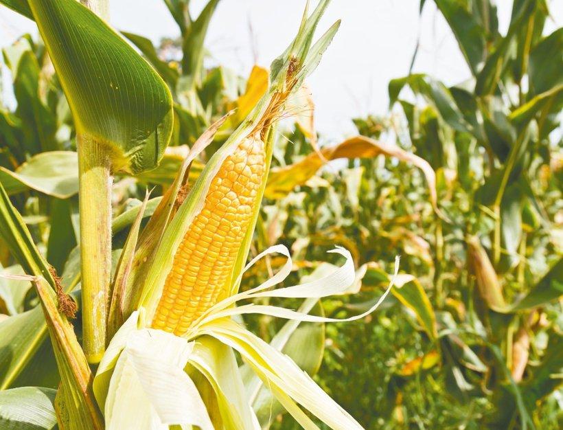 高龄农民偷盗科研玉米