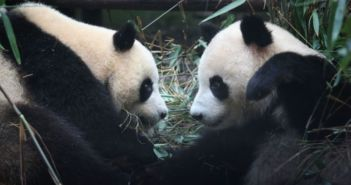 two giant pandas at zoo in berlin