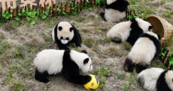 pandas playing with a football