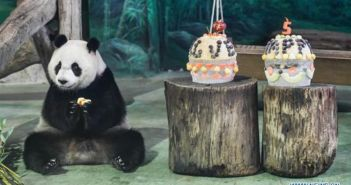 panda sitting next to birthday cake at taipei zoo