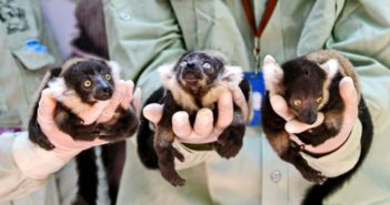 three baby ruffled lemur triplets