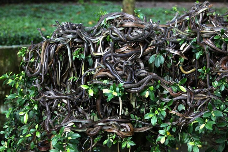 large group of snakes on a bush