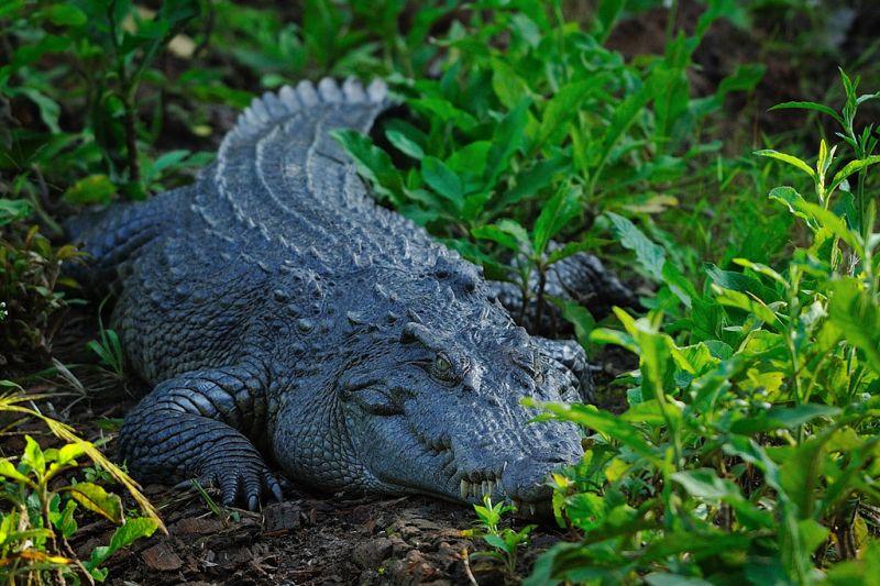 siamese crocodile in wild