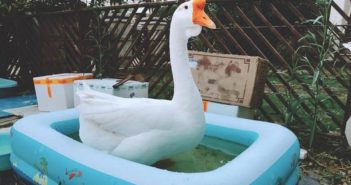 goose in a paddling pool
