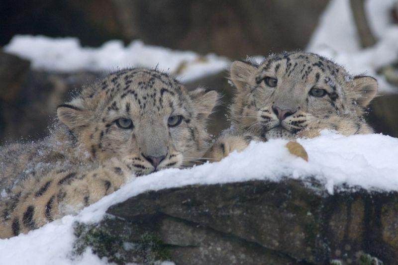 中国呼吁各国保护雪豹