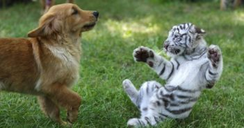 golden retriever puppy and white tiger cub playing on grass