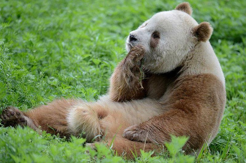 科学家研究棕色大熊猫皮毛的原因