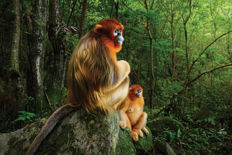 金丝猴照片获得今年野生动物摄影师大赛最高奖