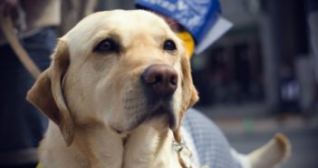 close up view of guide dog's face