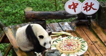 panda eating cake at chongqing zoo