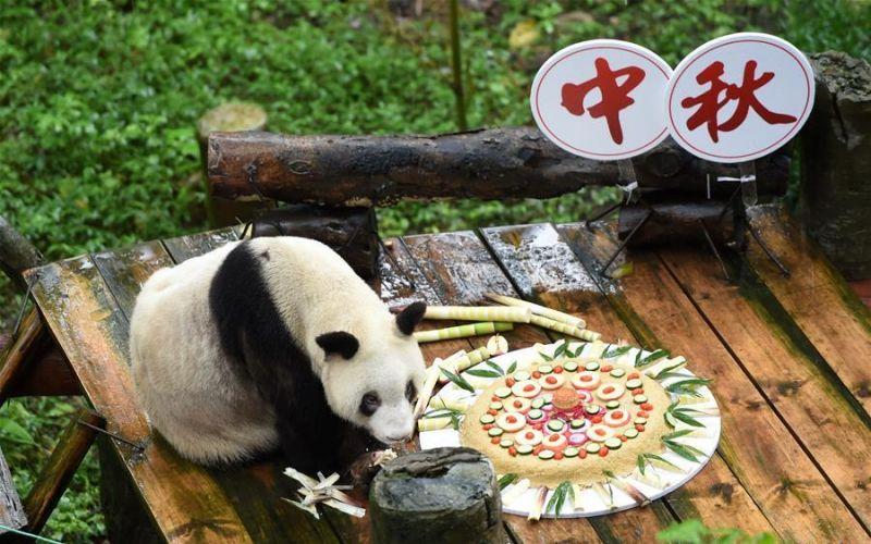 最年长圈养大熊猫中秋节享巨型月饼