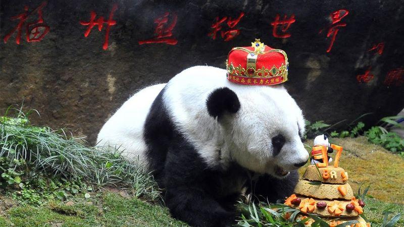 panda basi eating birthday cake