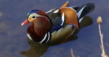 top view of mandarin duck in pond