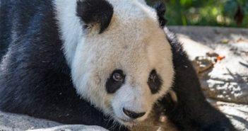 giant panda gao gao