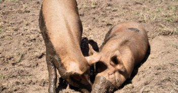 two pigs playing in the mud