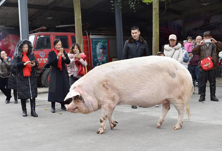 large pig on the street in sichuan province