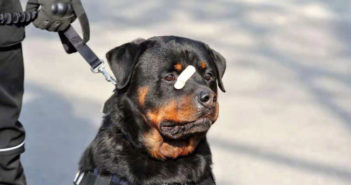 police dog with plaster on face in china