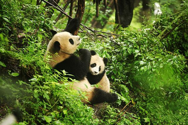 two pandas in the forest