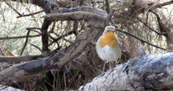 european robin standing on a tree