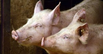 side view of heads of two pigs
