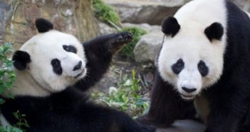 wangwang and fu ni at adelaide zoo
