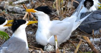 Chinese Crested Terns