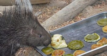 porcupine sniffs at dumplings at tianjin zoo