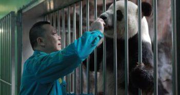 man feeding panda at beijing zoo