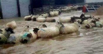flock of sheep in flood waters