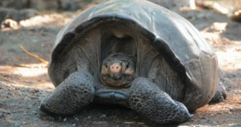 front view of giant tortoise